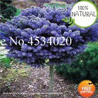 Spruce Tree Evergreen Seeds Plants Picea Pungens Glauca Perennial Blue 50pcs