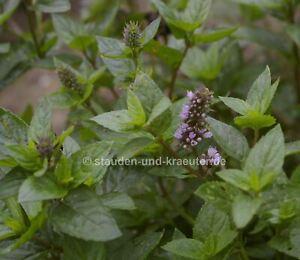 "Schwarze Pfefferminze (Mentha x piperita ""Black Spearmint"") Pflanze im 9x9cmTopf"