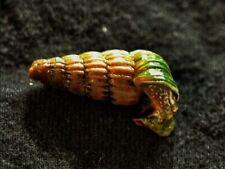 Cerithidea balteata (King Snail)