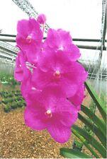 "Vanda Siriporn Pink 'Sathian', Orchid Plant Shipped in 2.5"" Pot"