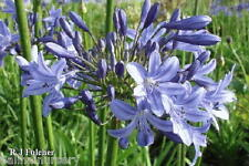 3 New Agapanthus Lyn Valley  mid to dark blue flowers good garden plant