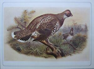 BEAUTIFUL BIRD PRINT ~ SIBERIAN SPRUCE GROUSE ~ JOSEF WOLF