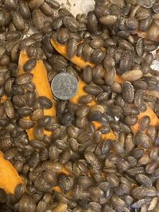 """Medium Dubia Roaches 3/8"""" to 3/4""""-Same Day Shipping- 25-500"""