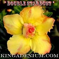 "New listing Adenium Obesum Desert Rose "" Double Stardust "" 10 Seeds New Free Shipping"