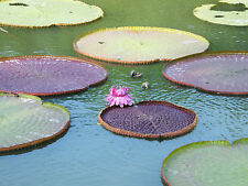 New listing 5 Seeds Giant Water Lily Victoria Amazonica Lotus pond