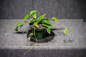 Hoya Macrophylla Albomarginata