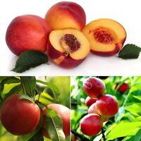 10Pcs Peach Tree Seeds Sweet Delicious Fruit Bonsai Seed Dwarf Peach Tree Plants