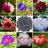 Baum-/Strauch-Pfingstrose-Paeonia rockii 120 Seeds-mixed seeds-Päonie-Tree Peony