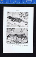 Tiger Salamander of Mexico-Axolotl-Mudpuppy-Crested Newt - 1938 Scientific Print