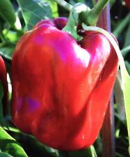 Block Paprika 20+ Seeds. Urban Gardening Sweet Pepper