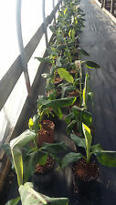 Grand Nain Musa Banana Chiquita Green Leaves Red Spots 1- 2 Foot Tall Plant