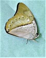 White-spotted Prepona Prepona amphimachus Male Folded/Papered FAST FROM USA