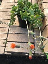 Jade Plant -  flowering hanging species