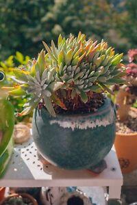 Dudleya farinosa rare succulente plante grasse