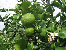 Semi-Dwarf Kaffir Lime (Thai Lime)