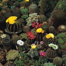 Flor - Cactus - Corona Mix - 100 Semillas