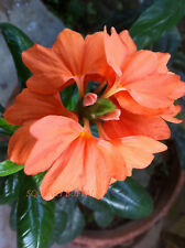 10 FRESH CROSSANDRA TROPIC FLAME FIRECRACKER SEEDS