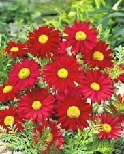 100+CHRYSANTHEMUM ROBINSON'S RED Seeds Bright Red Painted Daisy Garden/Container
