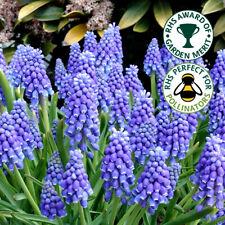 Muscari Armeniacum Blue Grape Hyacinth Spring Flowering Garden Bulbs Plants