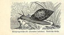 Stampa antica CHIOCCIOLA Scarabus imbrium 1891 Old antique print