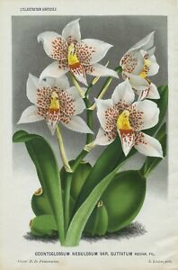 1884 ORCHID ODONTOGLOSSUM NEBULOSUM Antique Botanical Print LINDEN