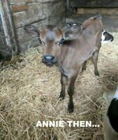 "Have a Heart Auction: Be A ""One-Time"" Loving Sponsor - ANNIE THE CALF"