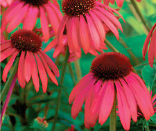 Red Coneflower Seeds -  Echinacea - Butterfly Garden Wildflower - 30 Seeds   ƸӜƷ