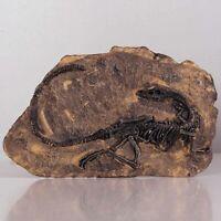 Tyrannosaurus Rex Fossil Dinosaur Jurassic Cretaceous 130 Million Years Old Gift