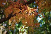 Green Leaf Japanese Maple Seeds - Acer Palmatum - Bonsai/Landscape/Grafting 50ct