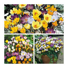 Mixed Species Crocus x 30 Bulbs.Bright Early Spring Flowering Bulbs