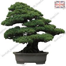 100x RARA pino nero giapponese BONSAI ALBERO semi - 100 semi vitali-UK Venditore