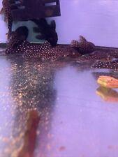 New listing L031 Peppermint Pleco (Parancistrus nudiventris) 3 inch live fish