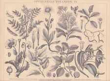 Plantas medicinales Heil plantas adormideras madera picadura de 1885 latiene arnica