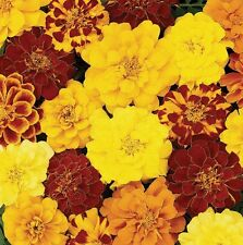 Flower Seed: Durango Mix Marigold flower seeds 50 Seeds Fresh Seed Free Ship