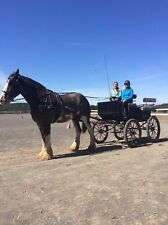 Large Wagonette from Bird-in-Hand for draft horse with harness