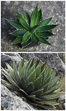 50 semi di Agave garciae-mendozae ,succulente, piante grasse,seed succulents