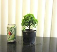 Dwarf Shimpaku Juniper for shohin mame bonsai tree multiple listing