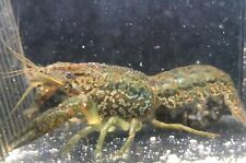 Marbled Crayfish (Marmorkreb) SELF CLONING! BUY 3 GET ONE FREE!