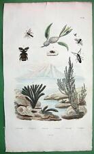 BEETLES Frog Hopper Ceramium algae - 1836 H/C Color Natural History Print