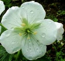 PLANT~Geranium maculatum WHITE form~GALLON