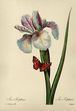Vintage Dutch Iris Flower Print Blue Flower Gallery Wall Redoute Art pjr 2003