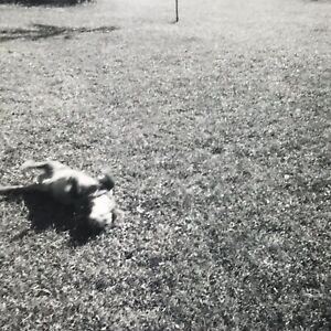 Vintage 1958 Black and White Photo Dog Laying On Back Yard Grass Outdoors