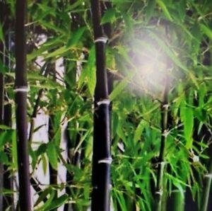 FRESH Black Bamboo Plant Phyllostachys Nigra 2 Live Root Rhizomes.Multi Discount