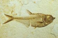 A Grade Diplomystus dentatus Fossil Fish Green River Formation Wyoming