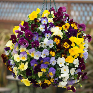 50 Giant Winter Pansy Seed Mix UK Hardy Hiemalis Viola Flowering Plants To Grow