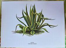 Ancienne Impression Papier Botanique Agave Americana d'après Gaston Bonnier