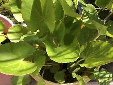 Gotu Kola/  Pennywort/ Arthritis Plant x2 rootlets
