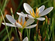 Zephyranthes candida White Rain Lily Marginal Pond Plants Garden Flower Bulbs