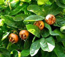 Níspola - 10 semillas-DURILLO Germanica-Semillas arbusto de adorno
