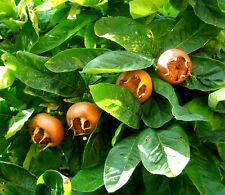MEDLAR - 10 seeds -  Mespilus germanica - ornamental shrub seeds